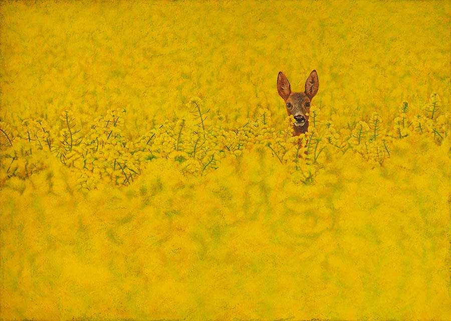 Roe Deer in Rapeseed